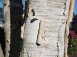 Himalajabirke, 125-150 cm, Betula utilis var. jacquemontii, Containerware