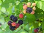 Himbeere 'Black Jewel', 30-40 cm, Rubus idaeus 'Black Jewel', Containerware