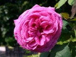 Historische Rose 'Mme Isaac Pereire', Rosa 'Mme Isaac Pereire', Containerware