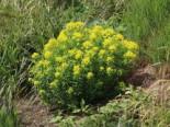 Hohe Wolfsmilch 'Goldener Turm', Euphorbia cornigera 'Goldener Turm', Topfware