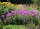 Hohen Flammenblume 'Hesperis', Phlox paniculata 'Hesperis', Topfware
