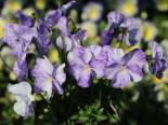 Horn-Veilchen 'Columbine', Viola cornuta 'Columbine', Topfware