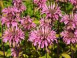 Indianernessel 'Croftway Pink', Monarda fistulosa 'Croftway Pink', Topfware