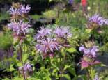 Indianernessel 'Elsie's Lavender', Monarda fistulosa 'Elsie's Lavender', Topfware