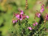 Irische Heide 'Globosa Pink', 15-20 cm, Daboecia cantabrica 'Globosa Pink', Topfware