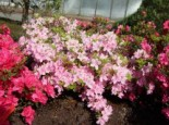 Japanische Azalee 'Blanice', 25-30 cm, Rhododendron obtusum 'Blanice', Containerware