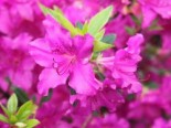 Japanische Azalee 'Blue Danube', 20-25 cm, Rhododendron obtusum 'Blue Danube', Containerware