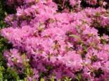Japanische Azalee 'Diamant Rosa' ®, 20-25 cm, Rhododendron obtusum 'Diamant Rosa' ®, Containerware