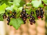 Johannisbeere 'Bona' (S), 30-40 cm, Ribes nigrum 'Bona' (S), Containerware