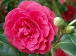 Kamelie 'Lady Campbell', 20-30 cm, Camellia japonica 'Lady Campbell', Containerware