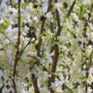 Kanadischer Judasbaum 'Royal White', 60-80 cm, Cercis canadensis 'Royal White', Containerware