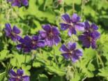 Kaukasus Storchschnabel 'Philippe Vapelle', Geranium renardii 'Philippe Vapelle', Topfware