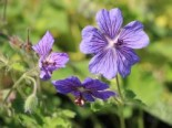 Kaukasus-Storchschnabel 'Terre Franche', Geranium renardii 'Terre Franche', Topfware
