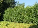Kirschlorbeer / Lorbeerkirsche 'Genolia' ®, 150-175 cm, Prunus laurocerasus 'Genolia' ®, Containerware