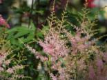 Kleine Prachtspiere 'Inshriach Pink', Astilbe simplicifolia 'Inshriach Pink', Topfware