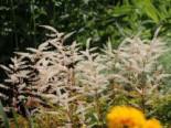 Kleiner Geißbart 'Misty Lace', Aruncus aethusifolius 'Misty Lace', Topfware