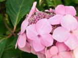 Kleinwüchsige Tellerhortensie 'Rosalba', 30-40 cm, Hydrangea serrata 'Rosalba', Containerware