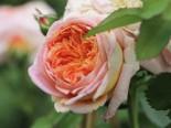 Kletterrose 'Alchymist', Rosa 'Alchymist', Wurzelware