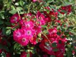 Kletterrose 'Libertas' ®, Rosa 'Libertas' ® ADR-Rose, Wurzelware