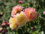 Kletterrose 'Moonlight' ®, Rosa 'Moonlight' ®, Wurzelware