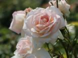 Kletterrose 'Penny Lane', Rosa 'Penny Lane', Wurzelware