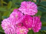 Kletterrose 'Perennial Rosali ®', Rosa 'Perennial Rosali ®', Containerware