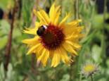 Kokardenblume 'Amber Wheels', Gaillardia aristata 'Amber Wheels', Topfware