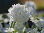 Kugel-Primel 'Alba', Primula denticulata 'Alba', Topfware