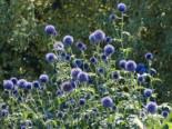 Kugeldistel 'Blue Glow', Echinops banaticus 'Blue Glow', Topfware