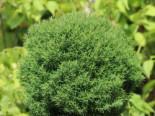 Kuschel-Lebensbaum / Lebensbaum 'Teddy', 25-30 cm, Thuja occidentalis 'Teddy', Containerware