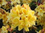 Laubabwerfende Azalee 'Golden Sunset', 40-50 cm, Rhododendron luteum 'Golden Sunset', Containerware