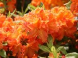 Laubabwerfende Azalee 'Goldflamme', 30-40 cm, Rhododendron luteum 'Goldflamme', Containerware