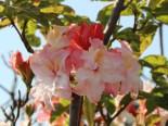 Laubabwerfende Azalee 'Jack A. Sand', 40-60 cm, Rhododendron luteum 'Jack A. Sand', Containerware