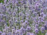 Lavendel 'Cedar Blue', Lavandula angustifolia 'Cedar Blue', Topfware