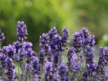 Lavendel 'Phenomenal' / 'Niko', Lavendula intermedia 'Phenomenal' / 'Niko', Containerware