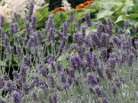 Lavendel 'Richard Gray', Lavandula dentata 'Richard Gray', Topfware