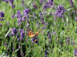 Lavendel 'Siesta', Lavandula angustifolia 'Siesta', Topfware