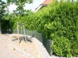 Abendländischer Lebensbaum, 20-30 cm, Thuja occidentalis, Topfware