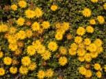 Lesotho Mittagsblume, Delosperma lineare, Topfware