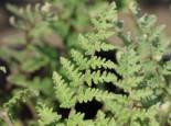 Lippenfarn, Cheilanthes lanosa, Topfware