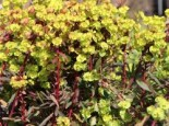 Mandelblättrige Wolfsmilch, Euphorbia amygdaloides var. robbiae, Topfware