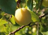 Mirabelle 'Bellamira', Stamm 40-60 cm, 120-160 cm, Prunus domestica subsp. syriaca 'Bellamira', Containerware