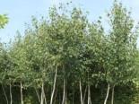 Moor Birke / Sumpfbirke, 60-100 cm, Betula pubescens, Containerware