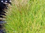 Nadelsimse, Eleocharis acicularis, Topfware