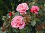 Nostalgie®-Edelrose 'Wildberry' ®, Rosa Nostalgie® 'Wildberry' ®, Wurzelware