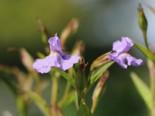 Offene Gauklerblume, Mimulus ringens, Topfware