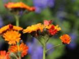 Orangerotes Habichtskraut, Hieracium aurantiacum, Topfware