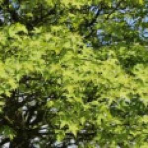 Orientalischer Amberbaum, 40-60 cm, Liquidambar orientalis, Ballenware