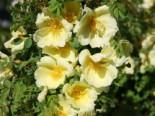 Chinesische Gold-Rose, Rosa hugonis, Wurzelware