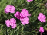 Pfingst-Nelke 'Eydangeri', Dianthus gratianopolitanus 'Eydangeri', Topfware